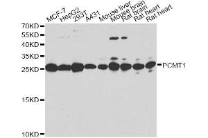 Image no. 3 for anti-Protein-L-Isoaspartate (D-Aspartate) O-Methyltransferase (PCMT1) antibody (ABIN6570624)