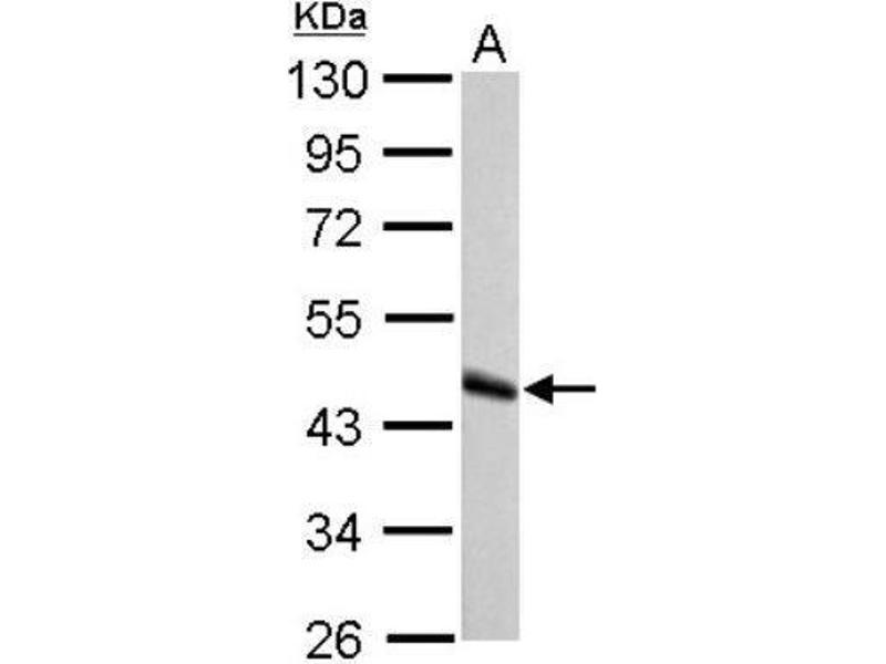 Western Blotting (WB) image for anti-GATA Binding Protein 4 (GATA4) (Center) antibody (ABIN4313661)