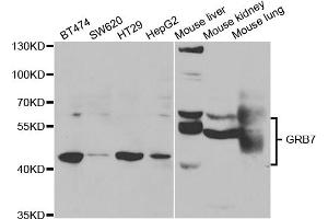 Image no. 1 for anti-Growth Factor Receptor-Bound Protein 7 (GRB7) antibody (ABIN2976209)