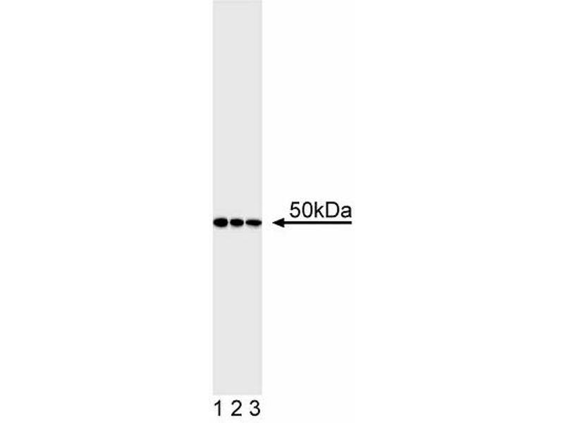 Western Blotting (WB) image for anti-Friend Leukemia Virus Integration 1 (FLI1) antibody (ABIN967451)