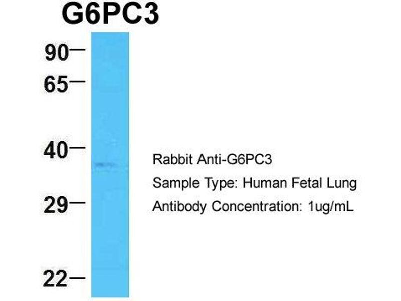 Image no. 1 for anti-Glucose 6-Phosphatase, Catalytic 3 (G6PC3) (N-Term) antibody (ABIN2789897)