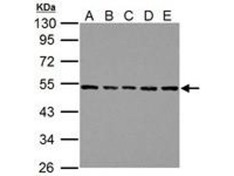 Image no. 4 for anti-Tubulin, beta (TUBB) (AA 160-447) antibody (ABIN1501915)