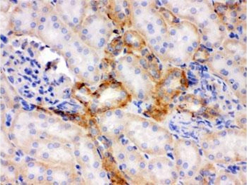 Image no. 5 for anti-Flotillin 2 (FLOT2) (AA 169-344) antibody (ABIN4951054)