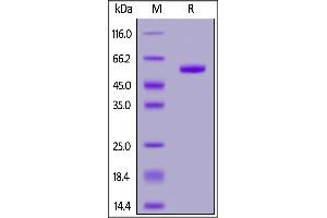 Image no. 2 for Ring Finger Protein 43 (RNF43) (AA 44-197) (Active) protein (Fc Tag) (ABIN7013543)