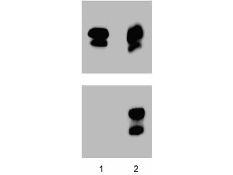 Western Blotting (WB) image for anti-STAT1 antibody (Signal Transducer and Activator of Transcription 1, 91kDa) (pTyr701) (ABIN968751)