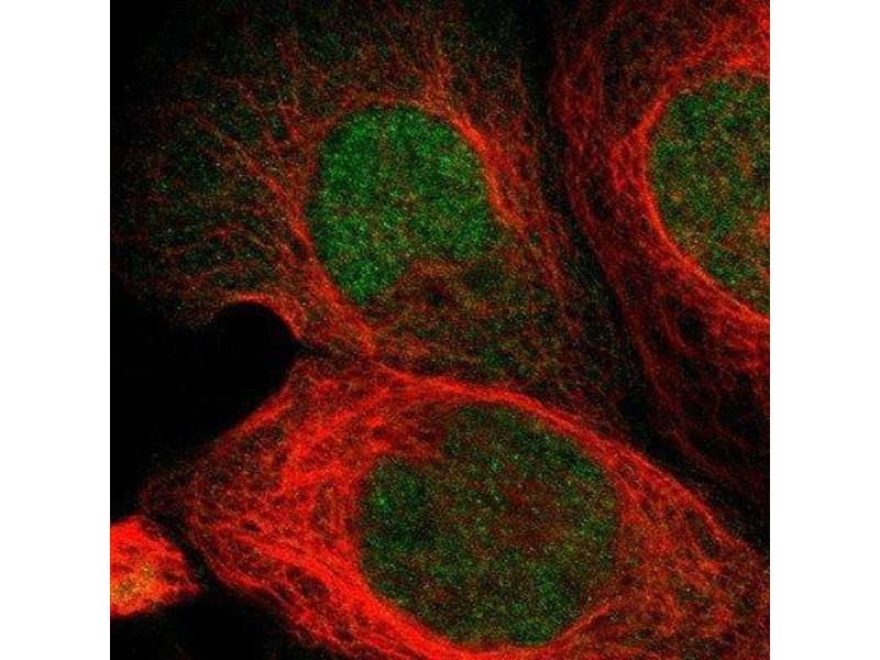 Immunofluorescence (IF) image for anti-PTPN6 antibody (Protein-tyrosine Phosphatase 1C) (ABIN4348608)