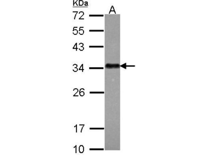 Image no. 7 for anti-serine/arginine-Rich Splicing Factor 1 (SRSF1) (Center) antibody (ABIN4353084)