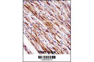 Image no. 1 for anti-Nuclear Receptor Subfamily 1, Group D, Member 2 (NR1D2) (AA 266-294) antibody (ABIN5531753)