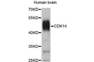 Image no. 1 for anti-Cyclin-Dependent Kinase 14 (CDK14) antibody (ABIN1874104)