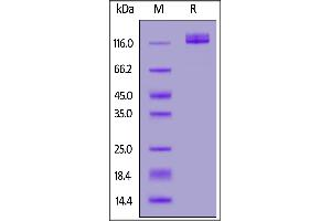 Image no. 1 for Ectonucleotide pyrophosphatase/phosphodiesterase 3 (ENPP3) (AA 48-875) protein (His tag) (ABIN7013636)