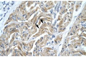 Image no. 2 for anti-Nuclear Transcription Factor Y, alpha (NFYA) (C-Term) antibody (ABIN2777267)