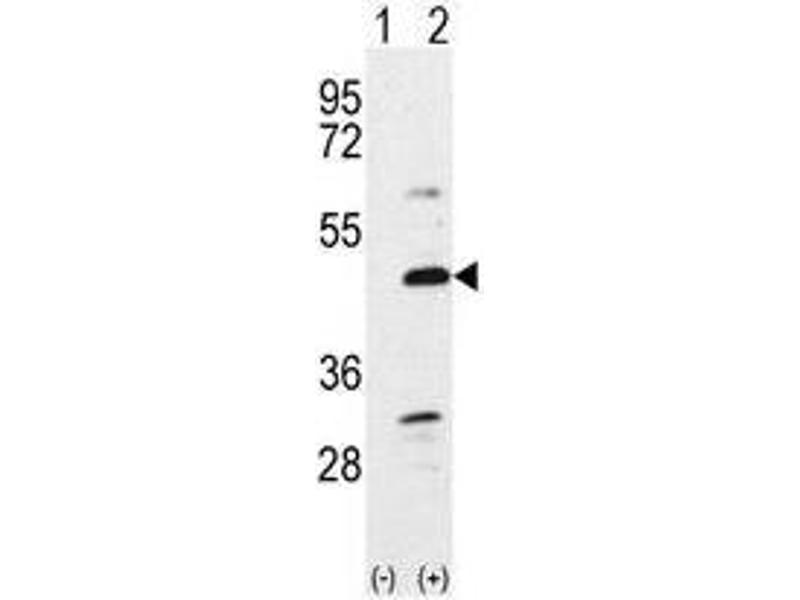 image for anti-Bone Morphogenetic Protein 7 (BMP7) (N-Term) antibody (ABIN357185)