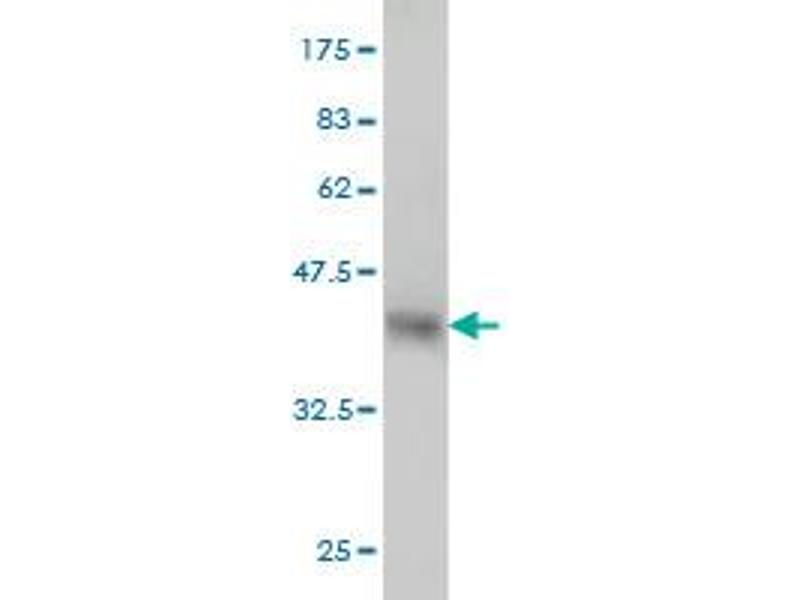Image no. 3 for anti-Fucosyltransferase 10 (Alpha (1,3) Fucosyltransferase) (FUT10) (AA 1-92) antibody (ABIN566592)