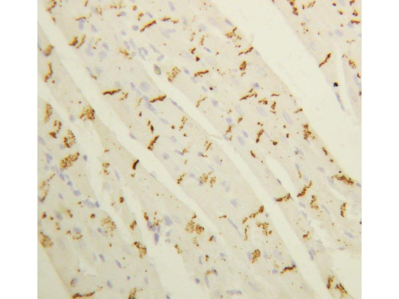 Immunohistochemistry (IHC) image for anti-GJA1 antibody (Gap Junction Protein, alpha 1, 43kDa) (AA 351-367) (ABIN3044320)