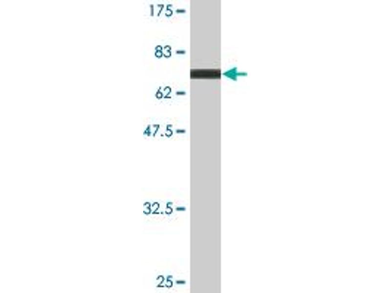 Image no. 2 for anti-Single Immunoglobulin and Toll-Interleukin 1 Receptor (TIR) Domain (SIGIRR) (AA 1-410) antibody (ABIN528393)