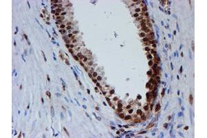 Image no. 13 for anti-Fragile X Mental Retardation 1 (FMR1) antibody (ABIN1498287)