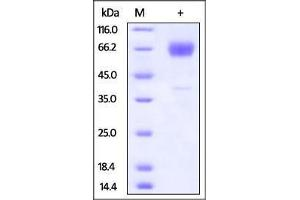 Image no. 1 for Hepatitis A Virus Cellular Receptor 2 (TIM 3) (AA 20-191) protein (Fc Tag) (ABIN2870767)