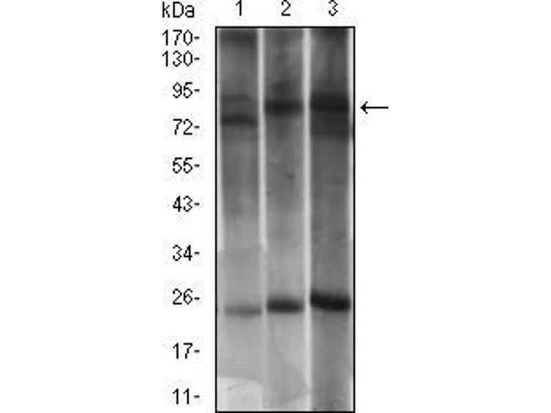 Image no. 2 for anti-Dynamin 1-Like (DNM1L) (AA 69-213) antibody (ABIN1724907)