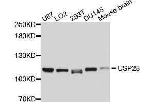 Image no. 1 for anti-Ubiquitin Specific Peptidase 28 (USP28) antibody (ABIN6566913)