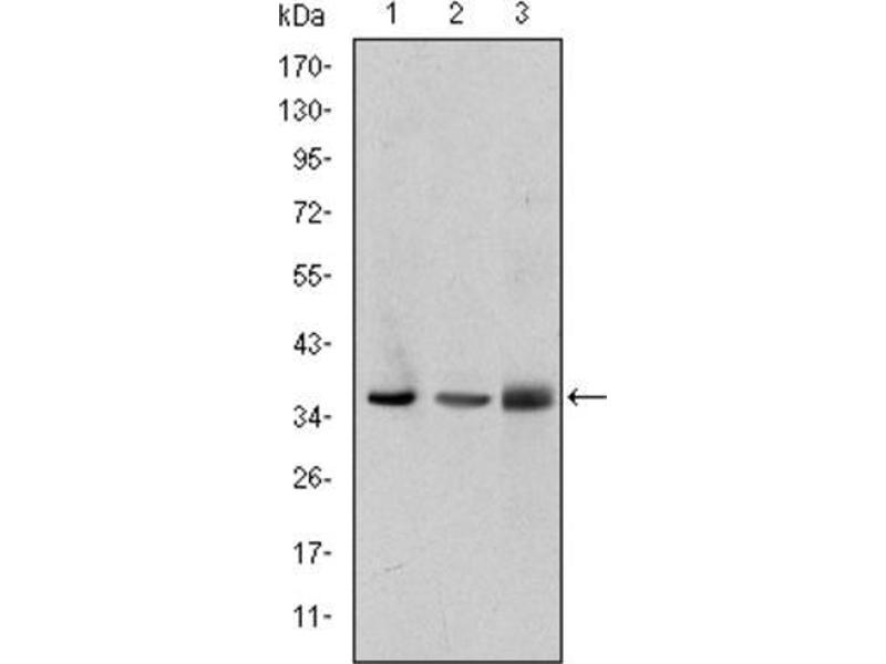 Western Blotting (WB) image for anti-LIM and Senescent Cell Antigen-Like Domains 1 (LIMS1) antibody (ABIN1845734)