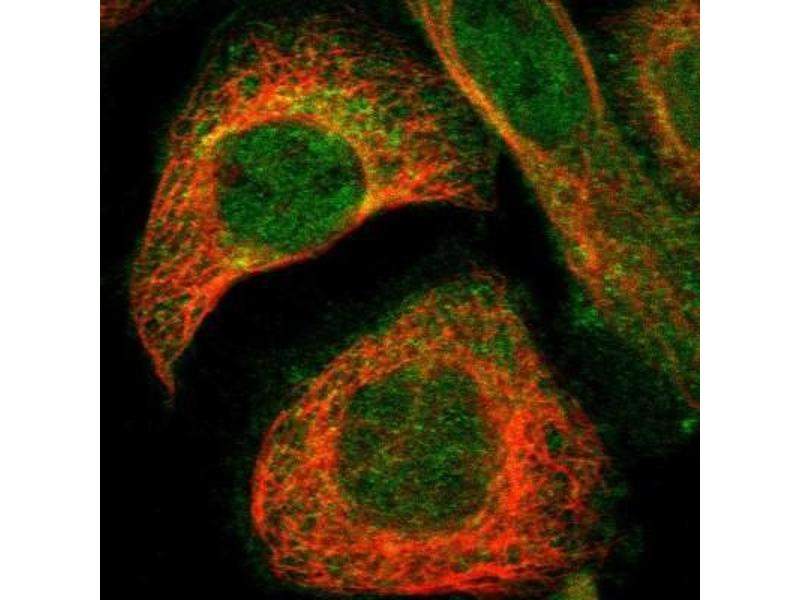 Immunofluorescence (IF) image for anti-Guanine Nucleotide Binding Protein (G Protein), alpha Inhibiting Activity Polypeptide 2 (GNAI2) antibody (ABIN4312953)