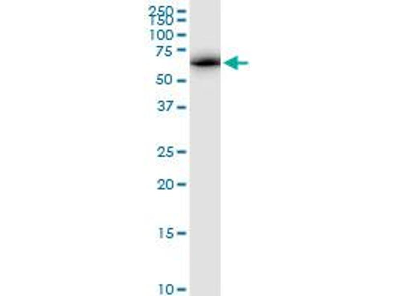 Western Blotting (WB) image for anti-ATPase Family, AAA Domain Containing 3A (ATAD3A) (AA 1-586) antibody (ABIN950090)