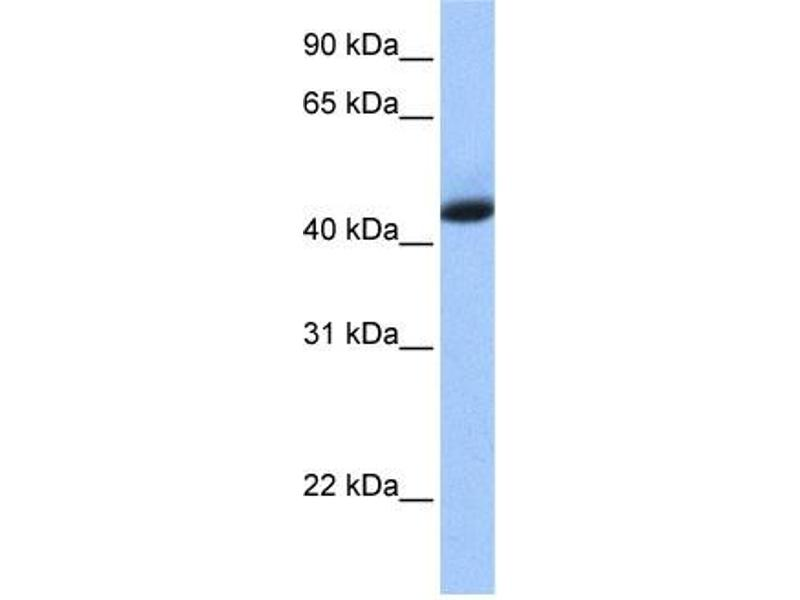 Western Blotting (WB) image for anti-KH Domain Containing, RNA Binding, Signal Transduction Associated 1 (KHDRBS1) (N-Term) antibody (ABIN2778999)