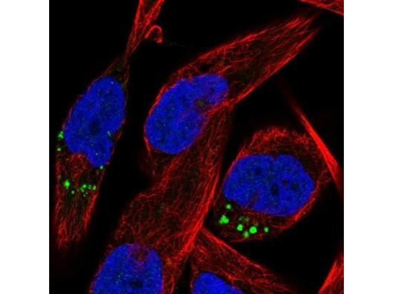 Immunofluorescence (IF) image for anti-RAS-Like, Family 10, Member B (Rasl10b) antibody (ABIN4349429)