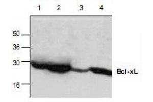 Western Blotting (WB) image for anti-BCL2-Like 1 (BCL2L1) antibody (ABIN223050)