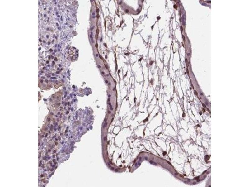 Immunohistochemistry (Paraffin-embedded Sections) (IHC (p)) image for anti-Amphiregulin (AREG) antibody (ABIN4280428)