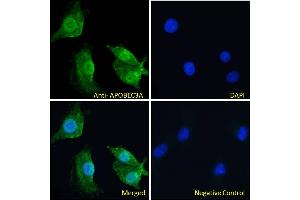 Image no. 1 for anti-Apolipoprotein B mRNA Editing Enzyme, Catalytic Polypeptide-Like 3A (APOBEC3A) (Internal Region) antibody (ABIN238645)