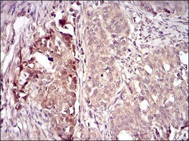 Immunohistochemistry (Paraffin-embedded Sections) (IHC (p)) image for anti-Villin 1 (VIL1) antibody (ABIN4365299)