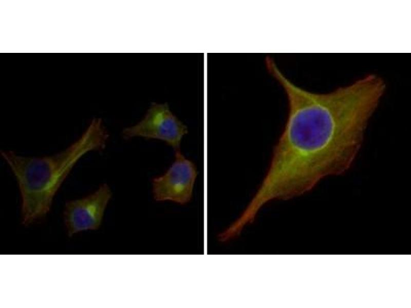 Immunofluorescence (IF) image for anti-Keratin 15 (KRT15) antibody (ABIN1106913)
