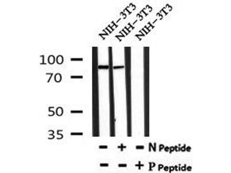 Image no. 1 for anti-Heat Shock Protein 90kDa alpha (Cytosolic), Class A Member 1 (HSP90AA1) (pTyr197) antibody (ABIN6269827)