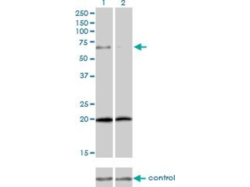 Western Blotting (WB) image for anti-Zyxin (ZYX) (AA 1-572), (full length) antibody (ABIN563471)