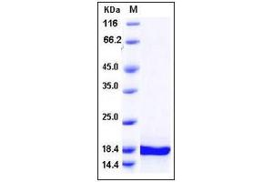Image no. 1 for Midkine (Neurite Growth-Promoting Factor 2) (MDK) (AA 1-143) (Active) protein (ABIN2002427)