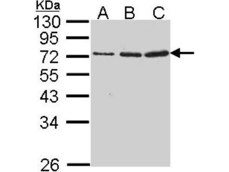 Western Blotting (WB) image for anti-GZMA antibody (Granzyme A (Granzyme 1, Cytotoxic T-Lymphocyte-Associated serine Esterase 3)) (Center) (ABIN4316052)