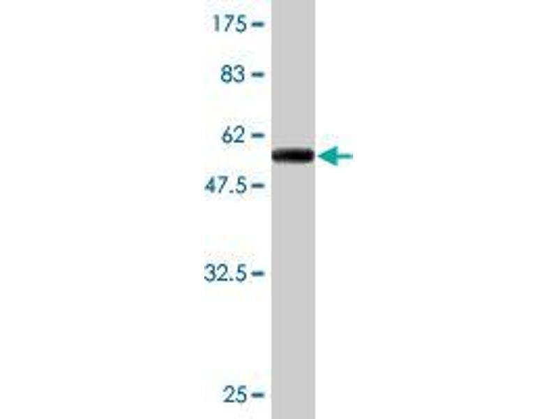 Western Blotting (WB) image for anti-Exportin 5 (XPO5) (AA 1-281) antibody (ABIN395442)
