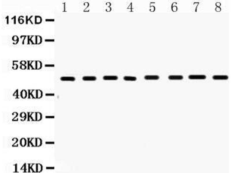 Western Blotting (WB) image for anti-Fas (TNF Receptor Superfamily, Member 6) (FAS) (AA 87-109), (N-Term) antibody (ABIN3044338)