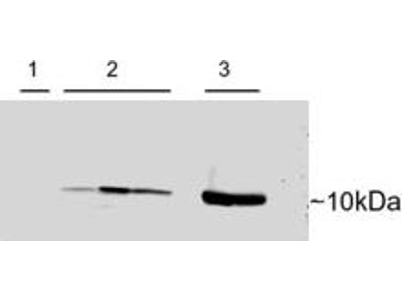 Western Blotting (WB) image for anti-Parvalbumin (PVALB) (C-Term) antibody (ABIN250430)