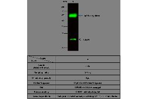 Image no. 2 for anti-Cysteine and Glycine-Rich Protein 1 (CSRP1) (AA 1-193) antibody (ABIN1998421)