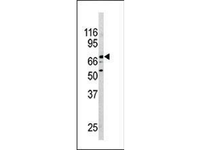 Western Blotting (WB) image for anti-Nuclear Receptor Subfamily 4, Group A, Member 2 (NR4A2) (AA 13-42), (N-Term) antibody (ABIN390383)