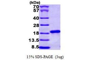 Image no. 1 for Nuclear Cap Binding Protein Subunit 2 (NCBP2) (AA 1-156) protein (His tag) (ABIN667237)