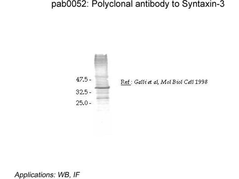 image for anti-Syntaxin 3 (STX3) (Cytoplasmic Domain) antibody (ABIN1739831)