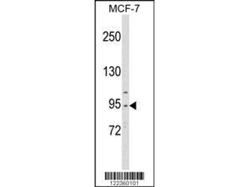 Western Blotting (WB) image for anti-CDC5 Cell Division Cycle 5-Like (S. Pombe) (CDC5L) (AA 187-213), (Center) antibody (ABIN652896)