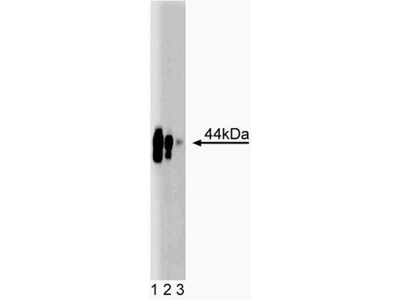 Western Blotting (WB) image for anti-CD40 antibody (CD40 Molecule, TNF Receptor Superfamily Member 5) (AA 71-187) (ABIN968494)
