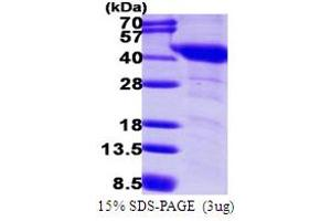Image no. 1 for Guanine Nucleotide Binding Protein (G Protein), alpha Inhibiting Activity Polypeptide 1 (GNAI1) (AA 1-354) protein (His tag) (ABIN667567)