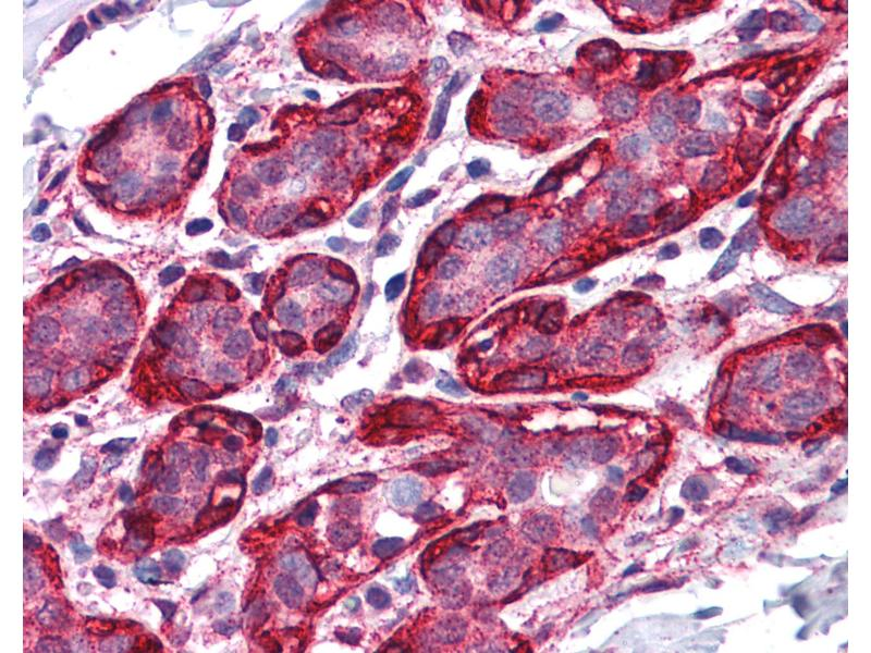 Immunohistochemistry (IHC) image for anti-Thyroid Hormone Receptor, alpha (THRA) (AA 147-158) antibody (ABIN574276)