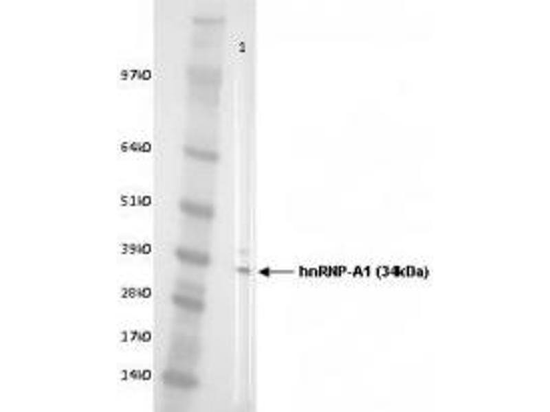image for anti-Heterogeneous Nuclear Ribonucleoprotein A1 (HNRNPA1) antibody (ABIN108610)