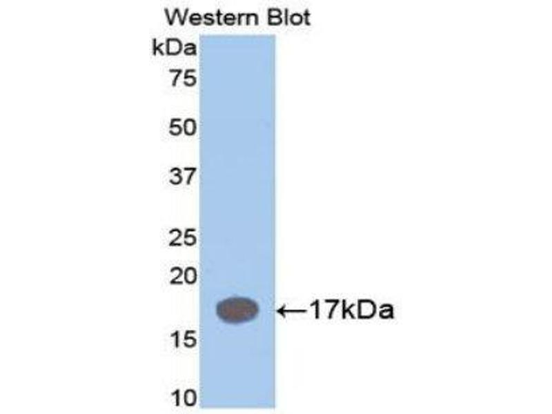 Western Blotting (WB) image for anti-Interleukin 1 Receptor Antagonist (IL1RN) (AA 27-178) antibody (ABIN1078223)